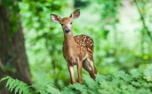 森林温顺可爱小鹿图片壁纸