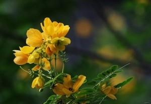 植物决明图片
