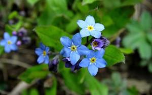 蓝色勿忘我唯美花卉桌面壁纸