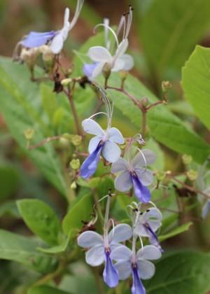 美丽的蓝蝴蝶