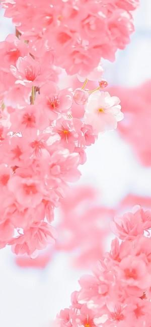 粉红鲜花盛开风景手机壁纸