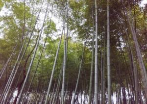 郁郁葱葱的竹林风景图片大全