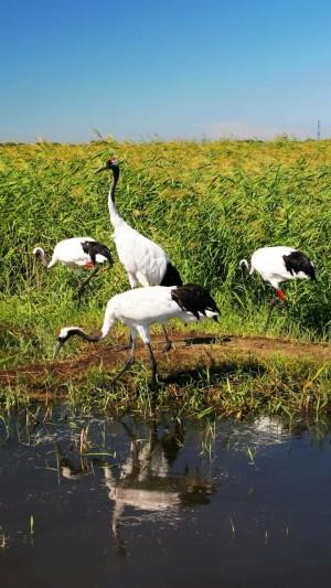 扎龙自然保护区~丹顶鹤的故乡