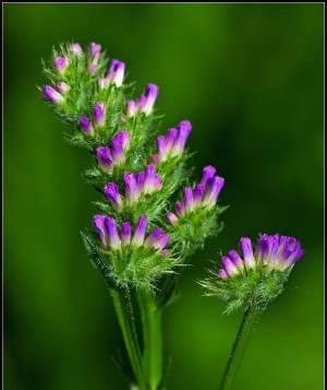紫色小花勿忘我