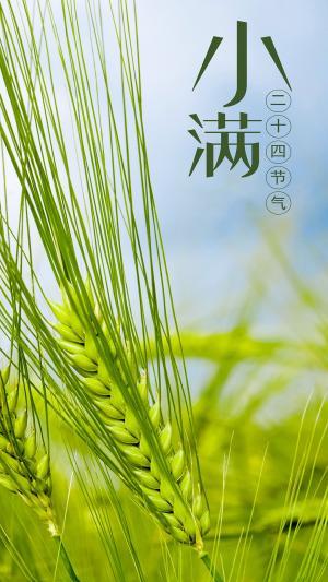 二十四节气小满绿色小麦颗粒饱满图片