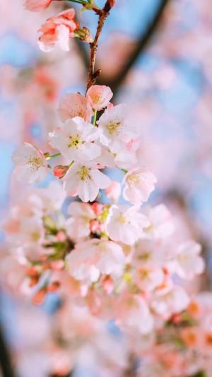 日系清新樱花风景手机壁纸