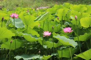 绿色养眼荷花池塘高清图片