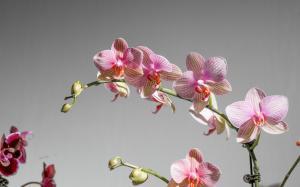 漂亮高雅蝴蝶兰图片