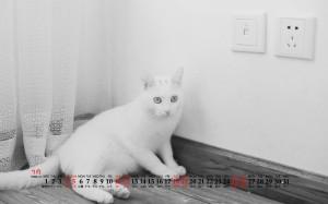 2020年7月白猫宠物桌面日历壁纸