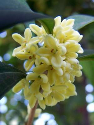 桂花植物图片