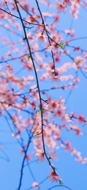 桃花粉色少女心高清手机壁纸