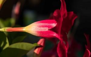 鲜艳唯美的红蝉花图片桌面壁纸