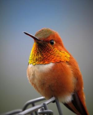 体被金色鳞状羽的蜂鸟唯美手机壁纸