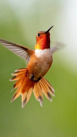 蜂鸟展翅飞翔摄影壁纸图片