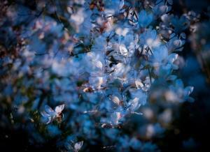 唯美白玉兰花图片