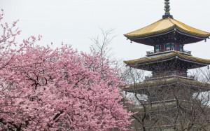 武汉东湖樱园樱花迎来盛开季节