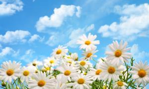 蓝天,白云,鲜花,雏菊图片