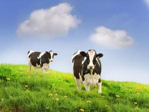 呆萌奶牛桌面壁纸