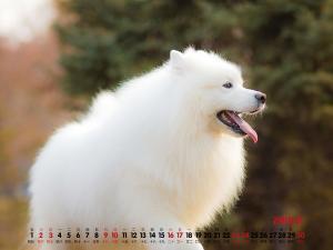 2019年11月萌宠萨摩耶日历桌面壁纸