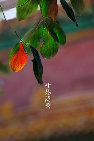 寒露之叶始泛黄