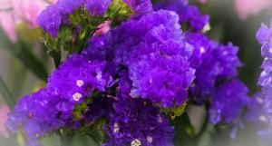 紫色勿忘我小花
