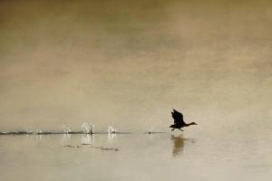 清晨平静湖面上的飞鸭