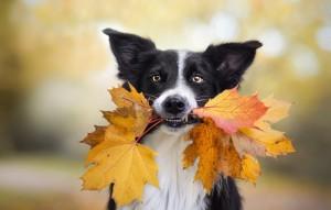 带着落叶向你跑来的狗狗