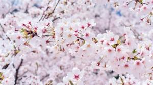 浪漫樱花高清桌面壁纸
