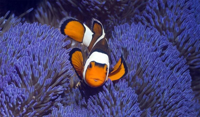 美美的小丑鱼图片