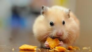 淘气超萌的小仓鼠