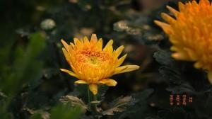 九九重阳节赏菊