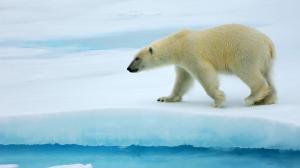 雪中嬉戏可爱北极熊高清桌面壁纸