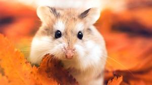 可愛的倉鼠唯美高清桌面壁紙