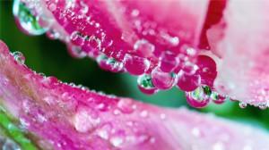 鲜花水滴露珠晶莹高清桌面壁纸