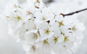 灿烂绽放的白樱花唯美高清桌面壁纸