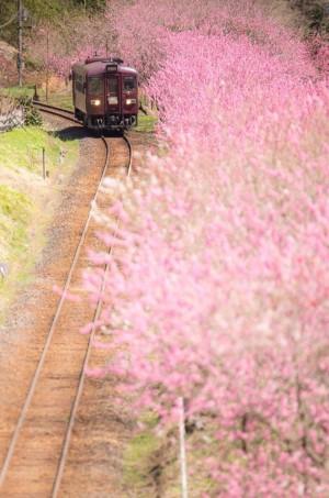 日本桐生市火车与樱花唯美风景图片