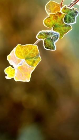 霜降之晶莹的树叶