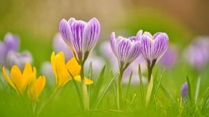 番红花唯美养眼微距摄影