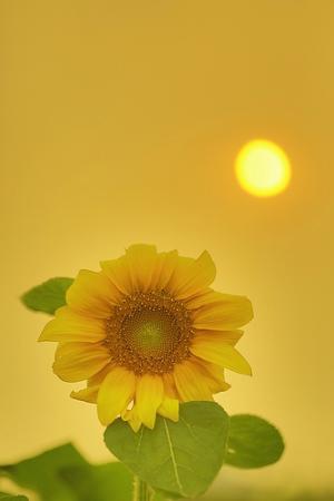 阳光的疼惜-向日葵